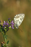 Butterfly - Marbled White (female) Stock Image