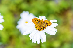 Butterfly on a margaritas flower -macro Stock Photography