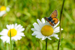 Butterfly with marguerites Stock Photo