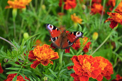 Butterfly on marigold Stock Image