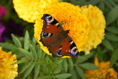 Butterfly on a marigold Royalty Free Stock Images