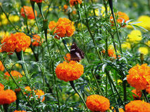Butterfly in Marigold Fields Royalty Free Stock Image