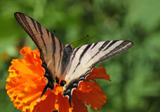 Butterfly on marigold flower. Scarce Swallowtail butterfly on marigold flower Royalty Free Stock Image