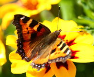 Butterfly on marigold flower Royalty Free Stock Photos