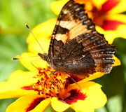 Butterfly on marigold flower Stock Images
