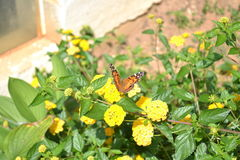 Butterfly on Marigolds in Flowerbed Stock Photography