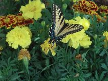 Butterfly and marigolds Stock Image