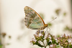 Butterfly on marjoam flower Stock Photo