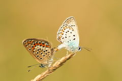 Butterfly mating Stock Photos
