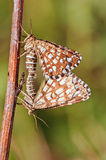 Butterfly Mating Royalty Free Stock Photos