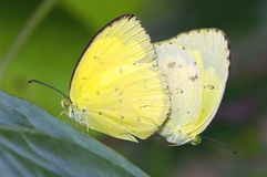Butterfly mating Stock Photography