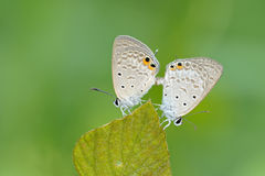Butterfly mating. Morning butterfly busy mating on the leaf stock photo