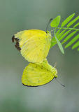 Butterfly mating. Yellow butterfly mating on green leafs royalty free stock photos
