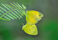 Butterfly mating. Yellow butterfly mating on green leafs stock photo