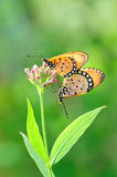 Butterfly mating. Colorful butterfly mating on flower stock image