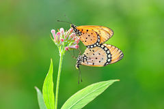 Butterfly mating. Beautiful butterfly mating on red flowers stock photography