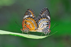 Butterfly mating. Colorful butterfly mating on green leaf royalty free stock photo