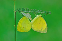 Butterfly mating. Beautiful butterfly mating on green leafs royalty free stock photos