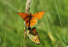 Butterfly mating Stock Image
