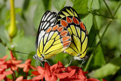 Butterfly mating Stock Images