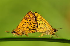 BUTTERFLY/mating Stock Photography