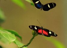 Butterfly mating. Butterflies in flight in mating season Royalty Free Stock Photography