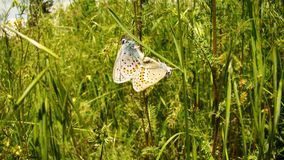 Butterfly Mating | Close Up stock images