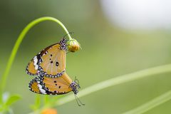 Butterfly mating on the flowers stock photos