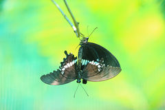 Butterfly Mating Royalty Free Stock Image