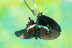 Butterfly Mating Royalty Free Stock Images