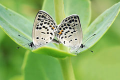 Butterfly mating Royalty Free Stock Photo