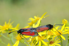 Butterfly matting Royalty Free Stock Images