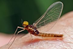 Butterfly mayfly. Royalty Free Stock Photography