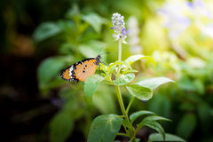 Butterfly and Meadow with blooming Blue Salvia herbal flowers Stock Images