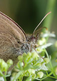 Butterfly Meadow Brown on the flower Royalty Free Stock Photography
