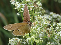 Butterfly Meadow Brown on the flower Stock Image