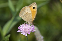 Butterfly Meadow Brown (Maniola jurtina) Stock Photos