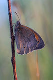 Butterfly - Meadow brown (Maniola jurtina) covered morning dew Stock Photo