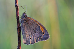 Butterfly - Meadow brown (Maniola jurtina) covered morning dew Royalty Free Stock Image