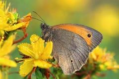 Butterfly - Meadow brown (Maniola jurtina) on flower of St John' Royalty Free Stock Image