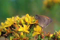 Butterfly - Meadow brown (Maniola jurtina) on flower of St John' Royalty Free Stock Photo