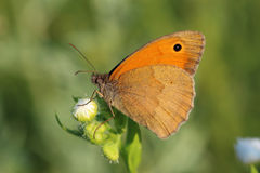 Butterfly - Meadow brown (Maniola jurtina) Stock Images
