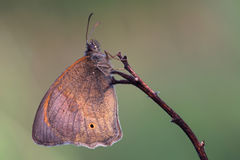 Butterfly - Meadow brown (Maniola jurtina) on morning meadow Royalty Free Stock Photo