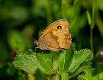 Butterfly Meadow brown (Maniola jurtina) Stock Photo