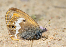 Butterfly Meadow Brown on the sand Royalty Free Stock Photos