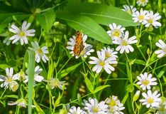 Butterfly on meadow daisies. Butterfly sitting on a flower meadow camomiles Royalty Free Stock Photography