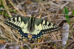 Butterfly on the meadow in the forest. Bright beautiful butterflies. Swallowtail butterfly, Papilio machaon royalty free stock photo