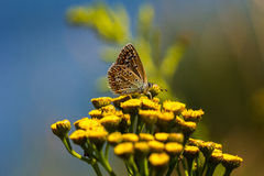Butterfly on the meadow. Lycaenidae butterfly on the meadow. Macro photography of wildlife Stock Photos