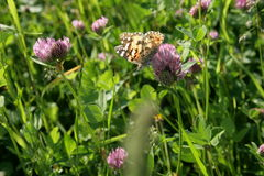 Butterfly. On a meadow in South Moravia Stock Image