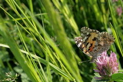 Butterfly. On a meadow in South Moravia Royalty Free Stock Image